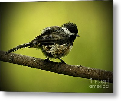 Rainy Days - Chickadee Metal Print by Inspired Nature Photography Fine Art Photography