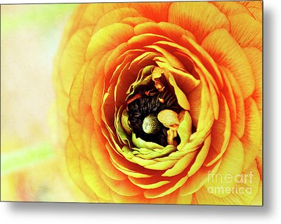 Ranunculus In Orange Metal Print by Stephanie Frey