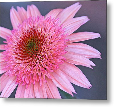 Rasberry Cone Metal Print by Becky Lodes