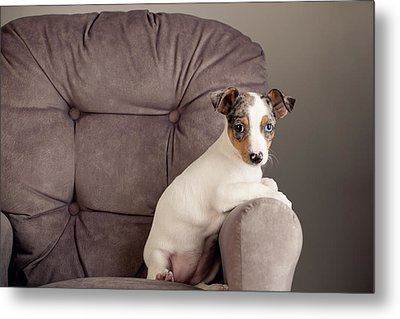 Rat Terrier Metal Print by Jessica Nelson