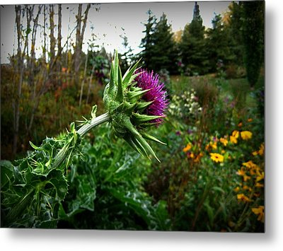 Reaching Milk Thistle Metal Print by Shirley Sirois
