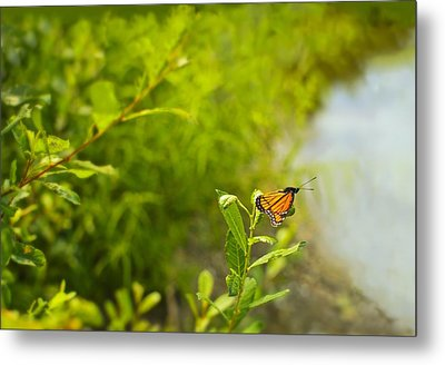 Ready Set Go Viceroy Butterfly Metal Print by Marianne Campolongo