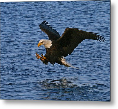 Metal Print featuring the photograph Ready To Strike by Doug Lloyd