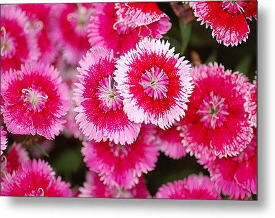 Metal Print featuring the photograph Red And White Fringed Bachelor Buttons by Peg Toliver