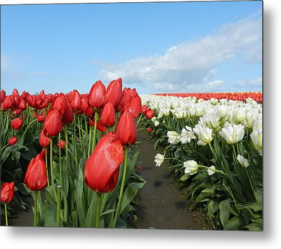 Metal Print featuring the photograph Red And White Tulips by Karen Molenaar Terrell