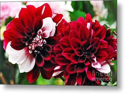 Red And White Variegated Dahlia Metal Print by Kaye Menner