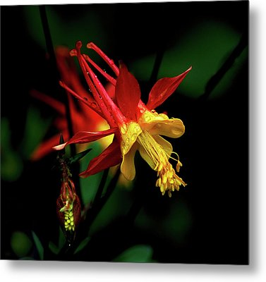 Red And Yellow Columbine Metal Print