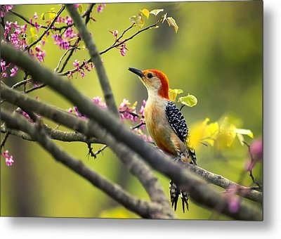 Red Bellied In Tree Metal Print by Bill Tiepelman