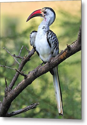 Red-billed Hornbill Metal Print by Tony Beck
