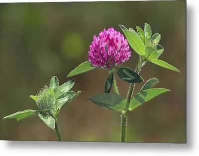 Red Clover Blossom Metal Print