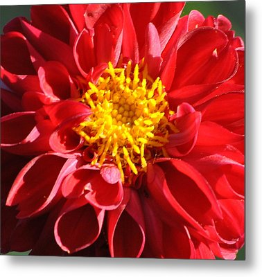Metal Print featuring the photograph Red Dahlia by Jodi Terracina