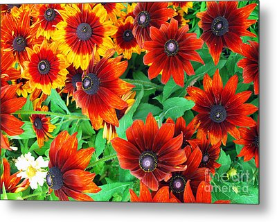 Metal Print featuring the photograph Red Daisies  by Bill Thomson