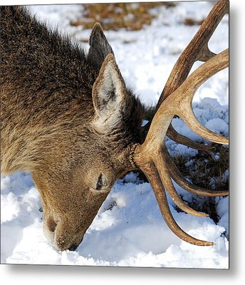 Red Deer Stag Forages For Food Closeup Portrait  Metal Print by John Kelly