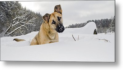 Red Dog Sits In A Snowdrift Metal Print