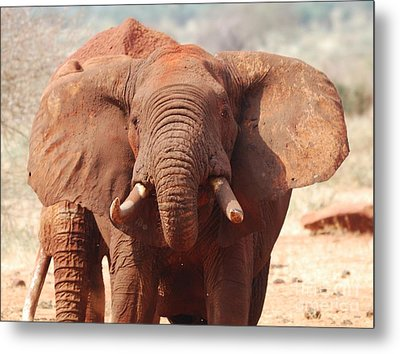 Red Elephant Drinking Metal Print by Alan Clifford