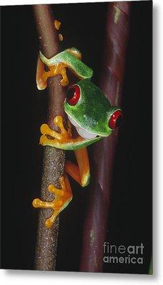 Red-eyed Tree Frog Agalychnis Callidryas Metal Print by Gregory G. Dimijian, M.D.