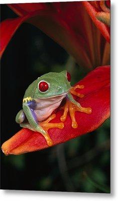 Red-eyed Tree Frog Agalychnis Callidryas Metal Print by Michael Durham