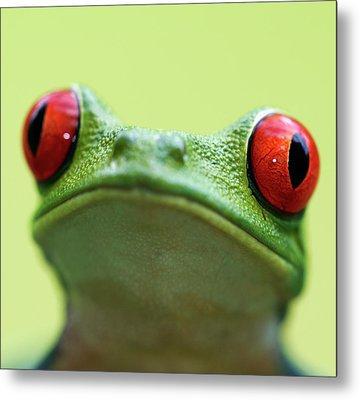Red-eyed Tree Frog (agalychnis Callidryas) Metal Print by Peter Lilja