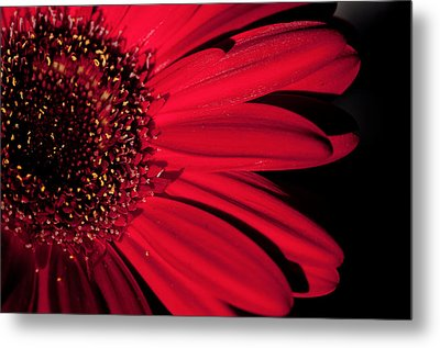 Red Gerbera Metal Print