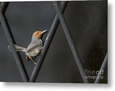 Metal Print featuring the photograph Red Headed Tailorbird. by Gary Bridger