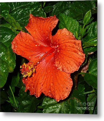 Metal Print featuring the photograph Red Hibiscus After The Rain by Renee Trenholm