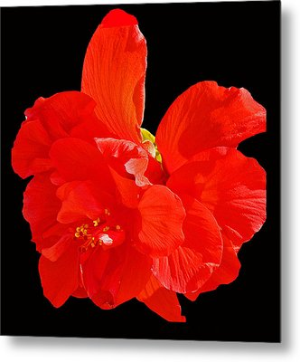 Metal Print featuring the photograph Red Hibiscus by Cindy Manero