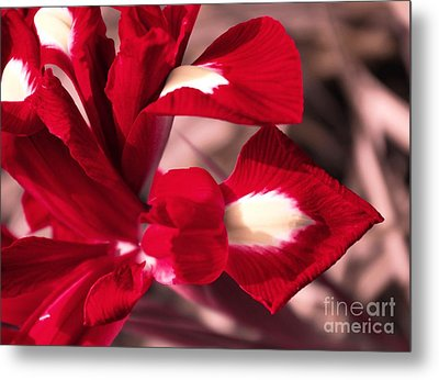 Red Iris Metal Print by AmaS Art