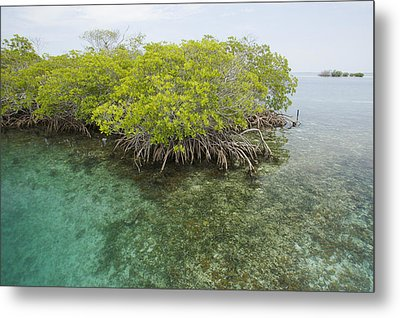 Red Mangrove Trees On An Offshore Metal Print