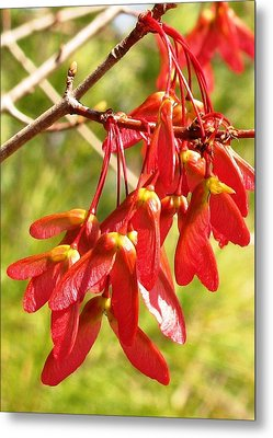 Red Maple Keys Metal Print by Debra Spinks