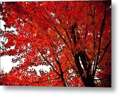 Red Maple Tree Metal Print by Kamil Swiatek