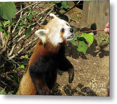 Red Panda Feeding Time Metal Print by Ausra Huntington nee Paulauskaite