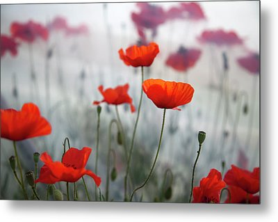 Red Poppies(papaver Rhoeas)  And Polytunnel Metal Print by Pascal Preti