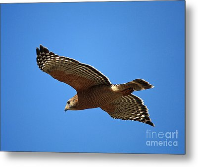 Red Shouldered Hawk In Flight Metal Print by Carol Groenen