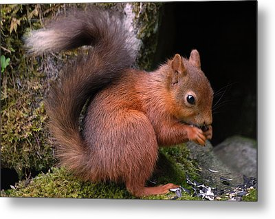 Metal Print featuring the photograph Red Squirrel by Lynn Bolt