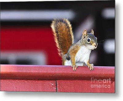 Red Squirrel On Railing Metal Print by Elena Elisseeva