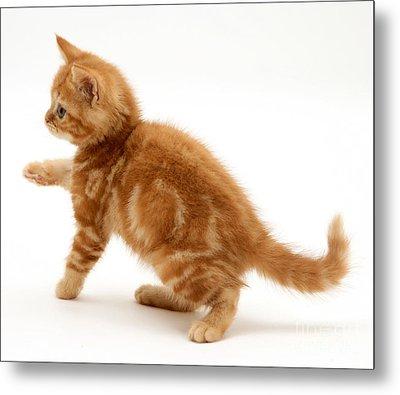 Red Tabby Kitten Metal Print