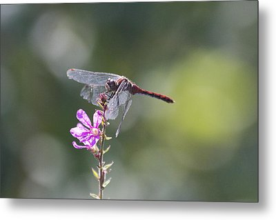 Red Tail Dragonfly Metal Print