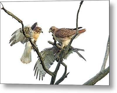 Red-tail Family Metal Print by Denny Bingaman
