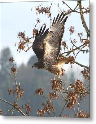 Red-tail Hawk Metal Print by Angie Vogel