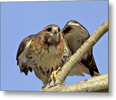 Red Tail Hawk Closeup Metal Print by Ron Sgrignuoli