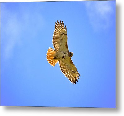 Metal Print featuring the photograph Red-tail Hawk by Joe Urbz