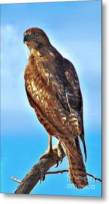 Red Tail Hawk Metal Print by Robert Bales