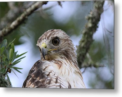 Red-tailed Hawk Has Superior Vision Metal Print by Travis Truelove