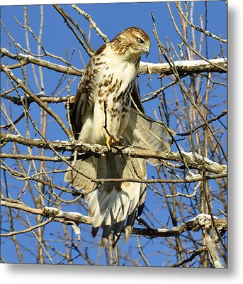 Red Tailed Hawk In Winter Metal Print by Rodney Campbell