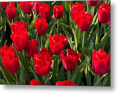 Red Tulips Metal Print by Hans Engbers