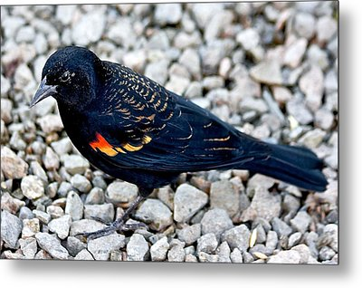 Red Wing Blackbird Metal Print by Scott Holmes