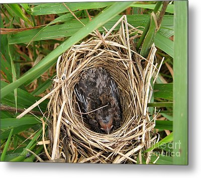 Red-winged Blackbird Baby In Nest Metal Print by J McCombie