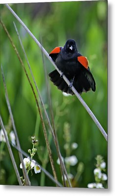 Red-winged Blackbird Metal Print by Rob Travis
