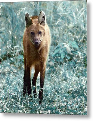 Metal Print featuring the photograph Red Wolf by Raymond Earley