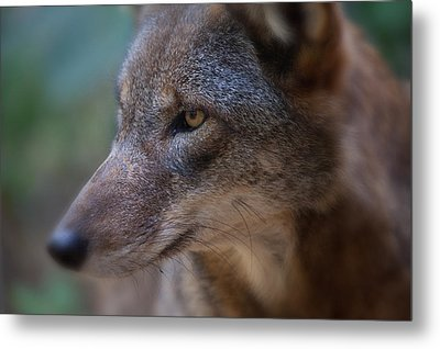 Red Wolf Stare Metal Print by Karol Livote